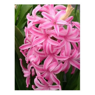 Pretty Pink Hyacinth Flowers Postcards