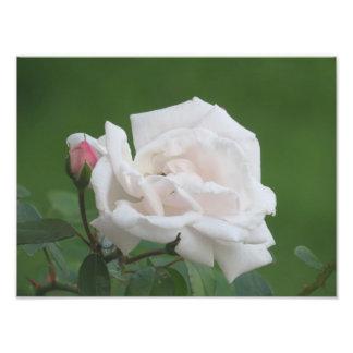 Pretty Pink Rose Art Print Photograph