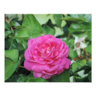 Pretty Pink Rose Art Photo