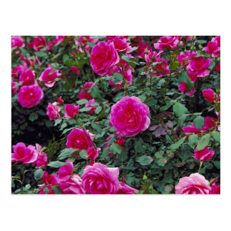 Pretty pink roses on bush postcard