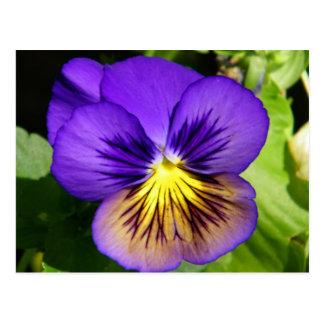Pretty Purple Pansy Postcard