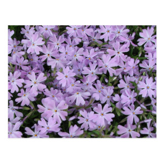 Pretty Purple Phlox Postcard