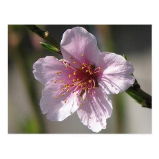 Pretty Raspberry Bloom Postcard