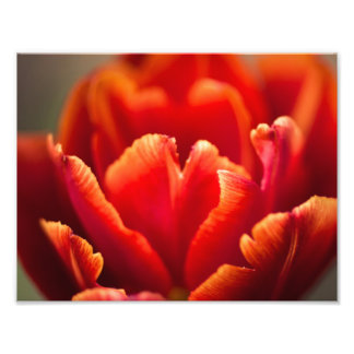 Pretty Red Tulip Petals photo. Nature photography. Photo Print