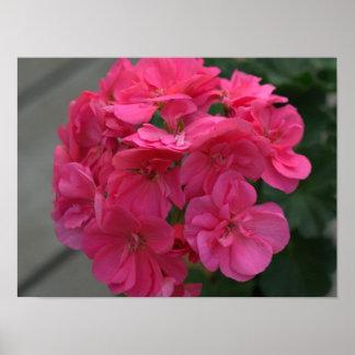 Pretty Rose Geranium  Poster
