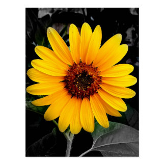 Pretty Sunflower Postcard