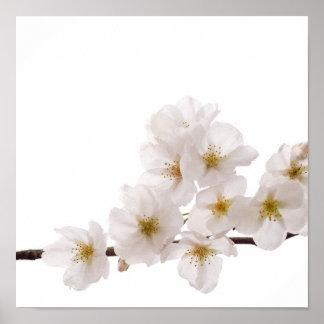 Pretty White Cherry Blossoms Poster