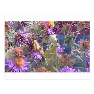 Preying Mantis  & Purple Cone Flowers Postcard