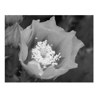 Prickly Pear Cactus Blooms Postcard