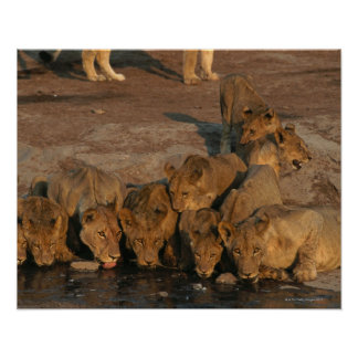Pride of Lions Drinking Poster