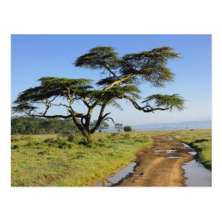Primitive dirt road and acacia tree, Lake Nakuru Postcard