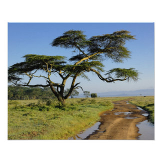 Primitive dirt road and acacia tree, Lake Nakuru Poster