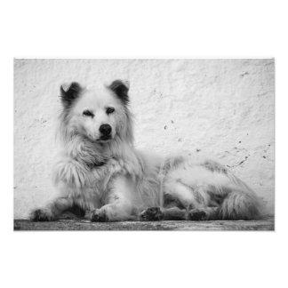 Print - Alert White Dog on Santorini, Greece Photo Print