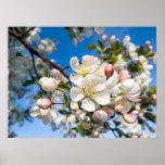 Print - Crab Apple Blossoms