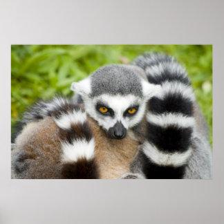 Print - Cute Lemur Stripey Tail