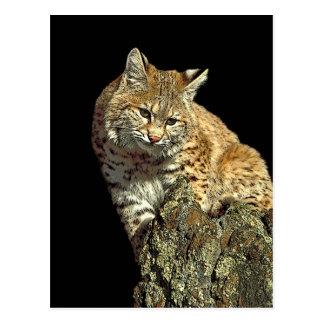 Produits de chat sauvage de Junglewalk.com Cartes Postales