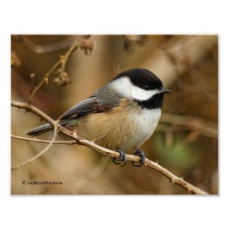 Profile of a Black-Capped Chickadee Photo Print