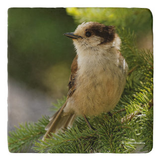 Profile of a Cute Grey Jay / Whiskeyjack Trivet