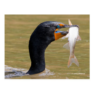 Profile of an Adult Double-Crested Cormorant Postcard