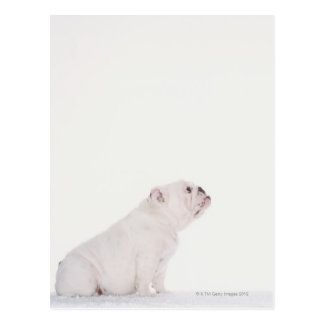 Profile of White Bulldog Postcard