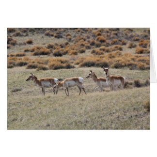 Pronghorn Antelope Card