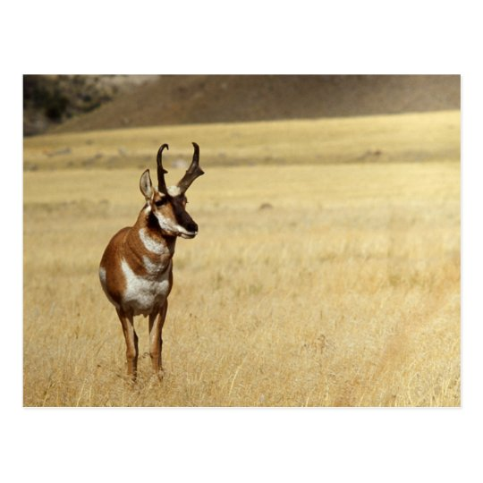 Pronghorn Antelope Wildlife Series # 9 Postcard