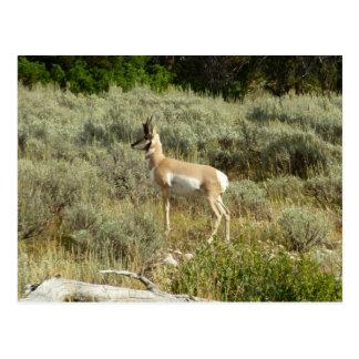 Pronghorn at Grand Teton National Park Postcard