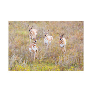 Pronghorn Family Canvas