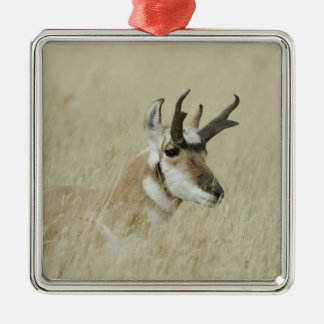 Pronghorn male resting, Yellowstone NP,Wyoming Metal Ornament