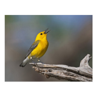 Prothonotary Warbler adult male in spring, Texas 2 Postcard