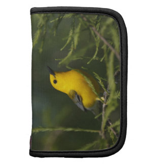 Prothonotary Warbler adult male in spring, Texas Organizers