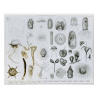 Protozoa and Coelenterata Poster