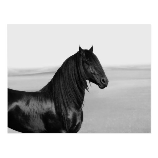 Proud Friesian black stallion horse Postcard