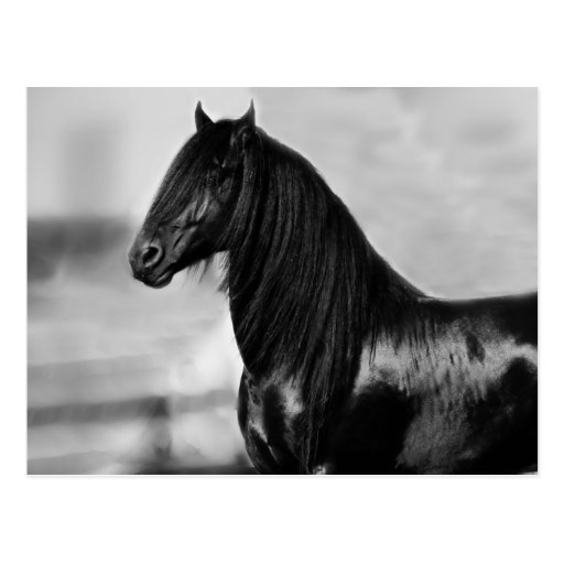 Proud Friesian black stallion horse Post Cards