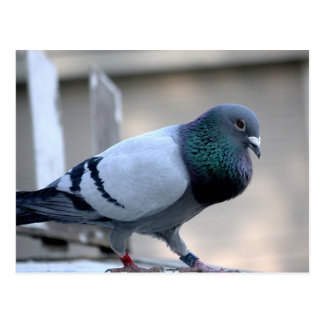 Proud Homing Pigeon Postcard