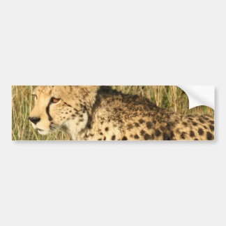 Prowling Cheetah Bumper Stickers