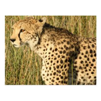 Prowling Cheetah Postcard