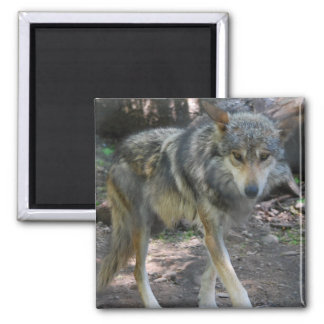 Prowling Wolf Magnet