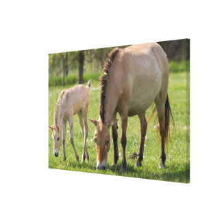 Przewalski's Horse and foal grazing Canvas Print