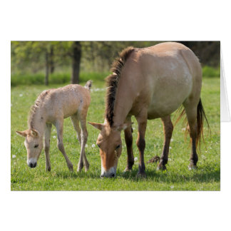 Przewalski's Horse and foal grazing Card