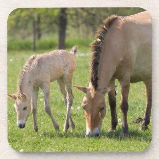 Przewalski's Horse and foal grazing Coaster