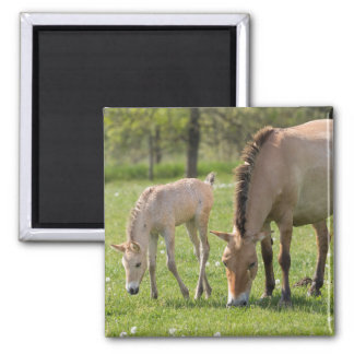 Przewalski's Horse and foal grazing Magnet