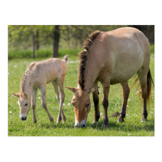 Przewalski's Horse and foal grazing Postcard