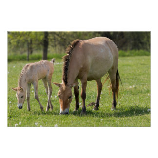 Przewalski's Horse and foal grazing Poster