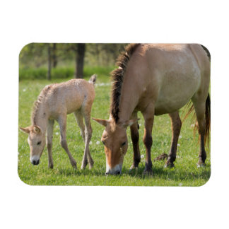 Przewalski's Horse and foal grazing Rectangular Photo Magnet