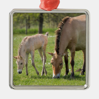Przewalski's Horse and foal grazing Silver-Colored Square Ornament
