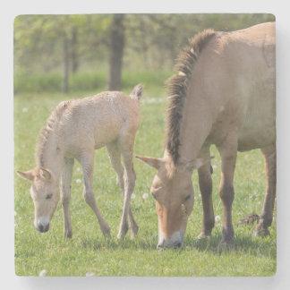Przewalski's Horse and foal grazing Stone Coaster