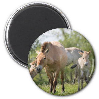 Przewalski's Horse and foal walking 2 Inch Round Magnet