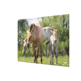 Przewalski's Horse and foal walking Canvas Print