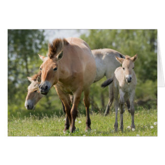 Przewalski's Horse and foal walking Card